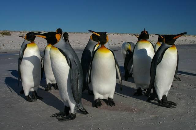 Königspinguine Pinguine