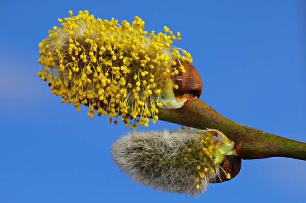 Ratgeber-Pollen