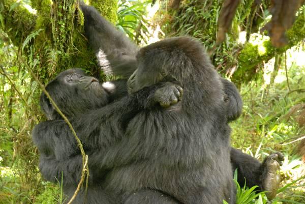 Lesbiche Gorillas