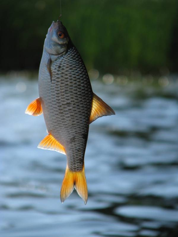 Himber-fischen