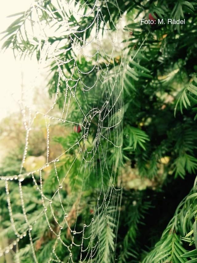 Spinnennetz Tau Rädel