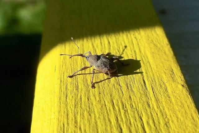 Ein Rüsselkäfer