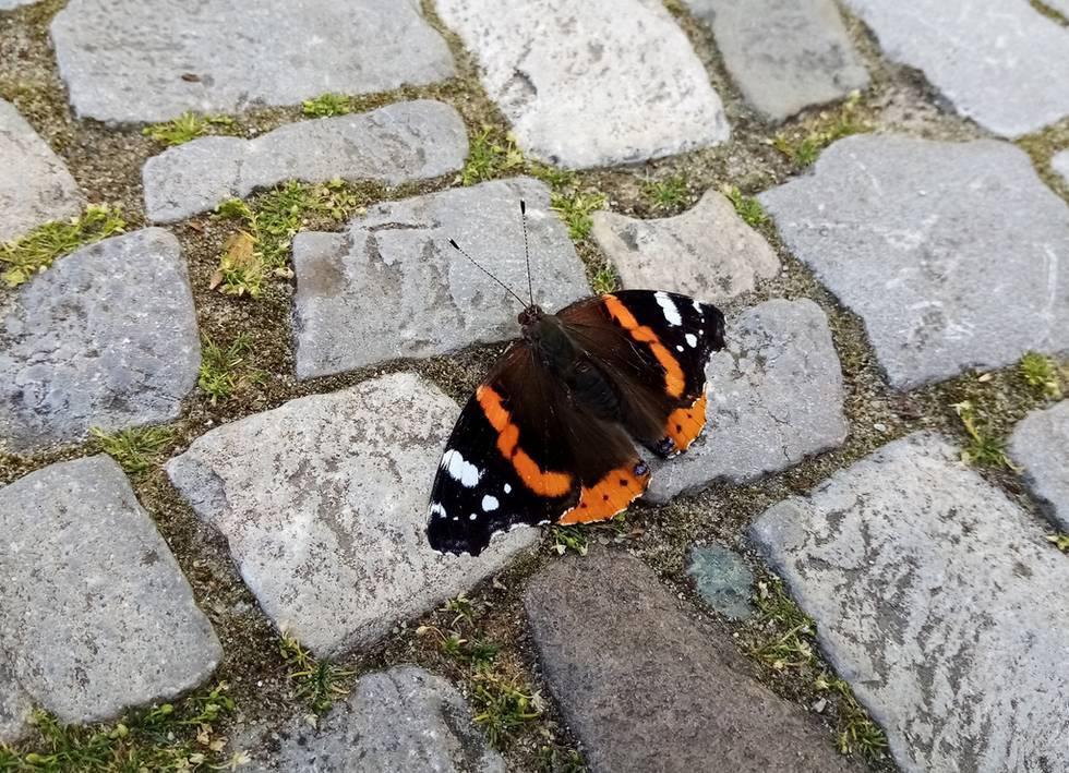 Bartblumen Brandenburg