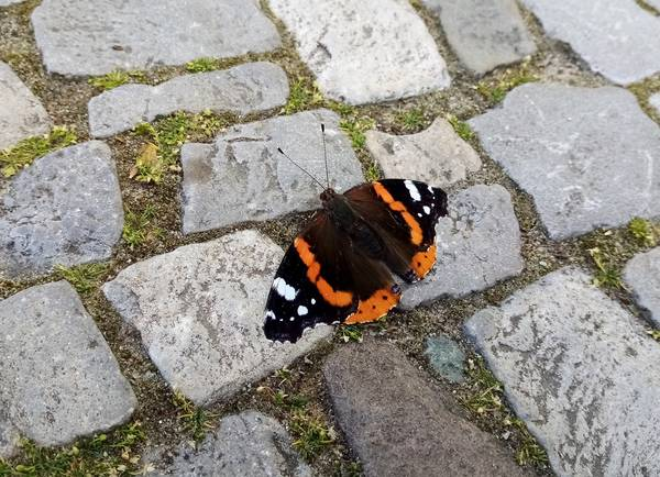 Schmetterling, Admiral, Frühling