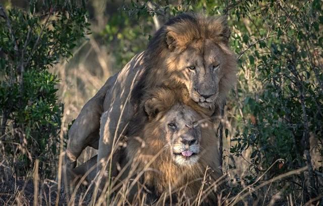 Schwule Löwen Kenia