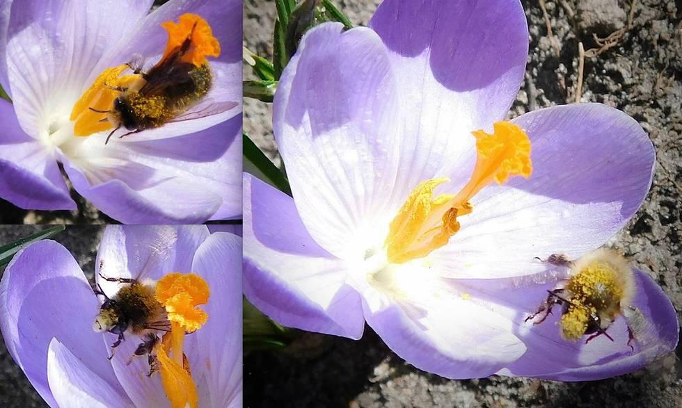 Frühling Krokus Biene Foto: M. Rädel