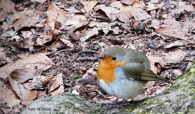 Rotkehlchen im Wald, Foto: M. Rädel