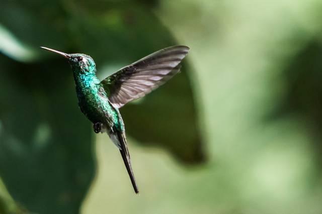Kuba Kolibri