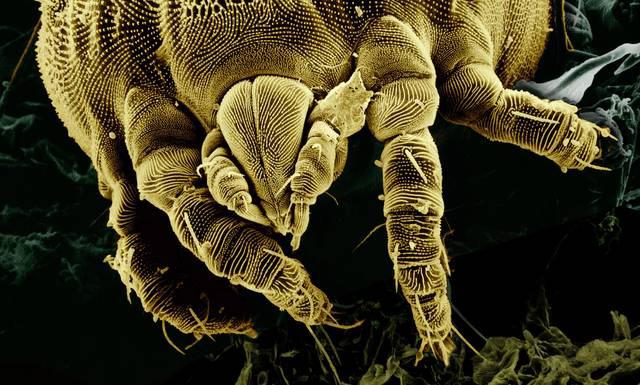milbe parasit