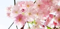 Frühlingsgrüße, Natur, Kirsche