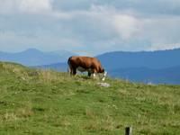 Eine zufriedene Kuh auf einer Alm in den Alpen